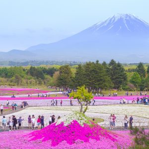 I went to the Fuji Shiba Cherry Blossom Festival! ~Mossphlox and Mt. Fuji in full bloom
